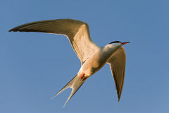 The Common ternl in flight. Stock Images
