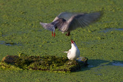 Common Terns Royalty Free Stock Image