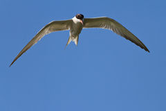 Common terns Stock Image