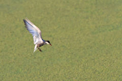 Common terns Royalty Free Stock Photo