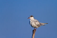 Common terns Royalty Free Stock Photography