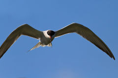 Common terns Royalty Free Stock Images