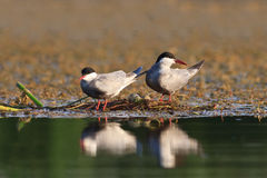 Common terns Stock Photo