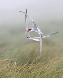 Common terns in aerial combat Stock Photos