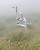 Common terns in aerial combat Stock Photos