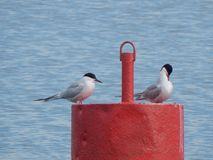 Common terns on buoy Tsna Lake,Minsk, Belarus royalty free stock image