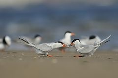 Common terns are  dancing with fish Stock Photos