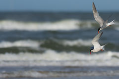 Common Terns diving Royalty Free Stock Images