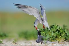 Common terns fighting for fish Royalty Free Stock Image