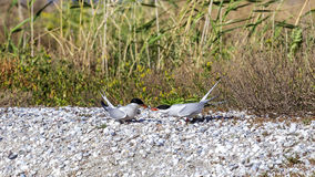 Common Terns and Fish Stock Photos