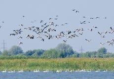 Common Terns in flight. (sterna hirundo Royalty Free Stock Photos