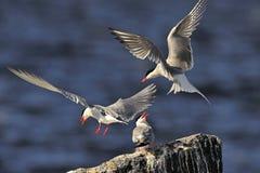 Common Terns (Sterna hirundo). Royalty Free Stock Images