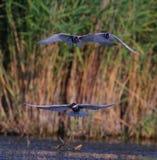 Common terns Sterna hirundo fishing Stock Photography