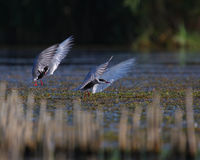 Common terns Sterna hirundo in flight. Adult common terns Sterna hirundo flying in the swamp Royalty Free Stock Photo