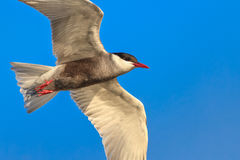 Common terns Royalty Free Stock Photos