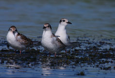 Common terns Sterna hirundo resting Royalty Free Stock Photo
