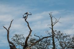 Common Terns in a tree at Bradgate Park. Blue sky with white fluffy clouds, dead standing trees Stock Photo