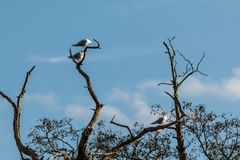 Common Terns in a tree at Bradgate Park. Blue sky with white fluffy clouds, dead standing trees Royalty Free Stock Photography