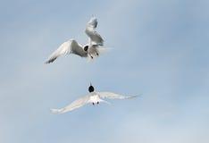 Common Terns Stock Photo