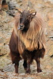 Common thar. The common thar standing on the rock with the sticked out tongue Royalty Free Stock Photos