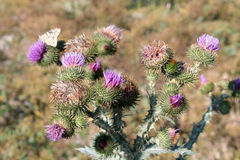 Common Thistle (Cirsium vulgare) Royalty Free Stock Photography