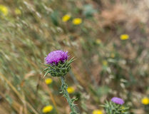 Common Thistle Royalty Free Stock Image