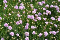 Common thrift. Pink flowers - Latin name - Armeria maritima `Rosea Compacta Stock Photo