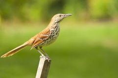 Common Thrush Bird sits on a fence post. Royalty Free Stock Photo