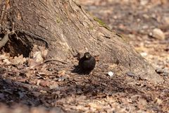 Common thrush in the park on a sunny day. Common thrush - Turdus merula alone on the ground near a tree royalty free stock images