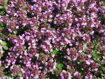 Common thyme (Thymus vulgaris) Royalty Free Stock Image