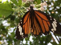 Common Tiger Beautiful butterfly royalty free stock photography