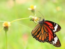 Common Tiger butterfly Royalty Free Stock Images