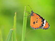 Common Tiger Butterfly Stock Image