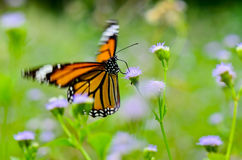 Common Tiger butterfly. Common Tiger, Butterflies were flying in search of food Stock Photo