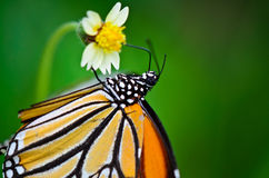 Common Tiger butterfly. Common Tiger, Butterflies were flying in search of food Royalty Free Stock Image
