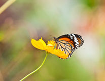 Common tiger butterfly Royalty Free Stock Photos