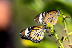 Common tiger butterfly. Perched on the leaf Royalty Free Stock Image