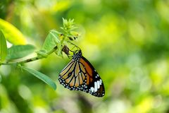 Common tiger butterfly. Perched on the leaf Stock Image