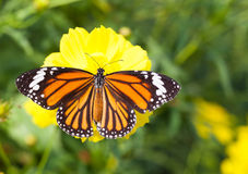 Common tiger butterfly with cosmos flower Royalty Free Stock Photos
