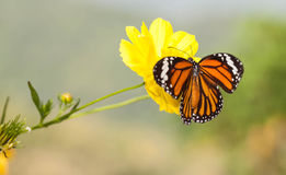 Common tiger butterfly with cosmos flower Stock Image