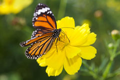 Common tiger butterfly with cosmos flower Stock Photos