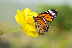 Common tiger butterfly with cosmos flower Royalty Free Stock Photo