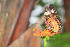 Common Tiger butterfly (Danaus genutia) Stock Image