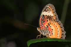 Common Tiger butterfly (Danaus genutia) Stock Photography