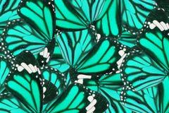 Common Tiger Butterfly (Danaus genutia) Royalty Free Stock Photos