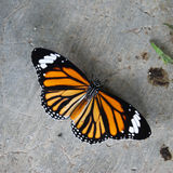 Common Tiger butterfly (Danaus genutia) Royalty Free Stock Photography