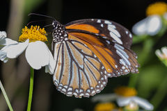 Common Tiger butterfly Danaus genutia. Eating flower`s syrup royalty free stock photos