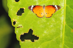 Common Tiger butterfly Danaus genutia on green leaf with holes. Eaten by pests royalty free stock images