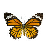 Common tiger butterfly , Danaus Genutia , monarch butterfly isol Royalty Free Stock Photos