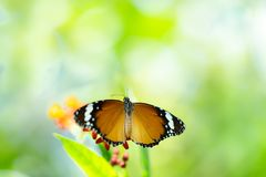 Common tiger butterfly on flower royalty free stock image